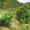 葉山農園2(縮小)