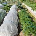 小さな菜園2(縮小)
