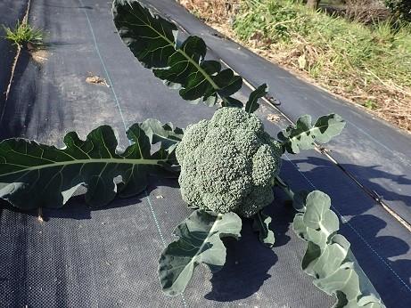 収穫野菜3(縮小)