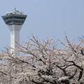 五稜郭タワーと桜