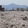 写真: 桜の海に浮かぶ函館山