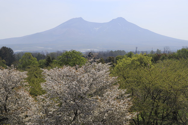 オニウシ公園の桜