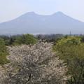 写真: オニウシ公園の桜