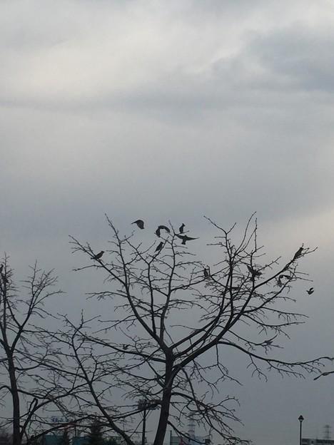 写真: ヒレンジャクの群れ