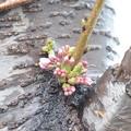 写真: ソメイヨシノも開花