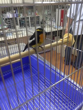 キビタキ成鳥雄 保護2