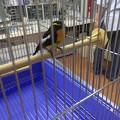 写真: キビタキ成鳥雄 保護2