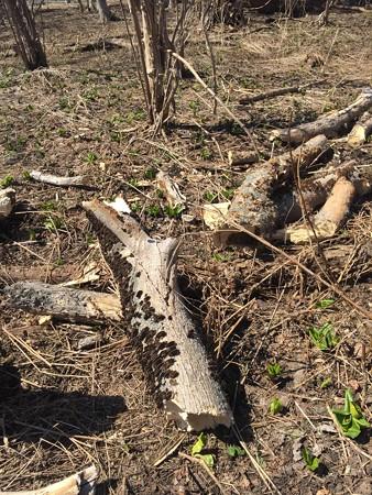 倒れてしまった営巣木