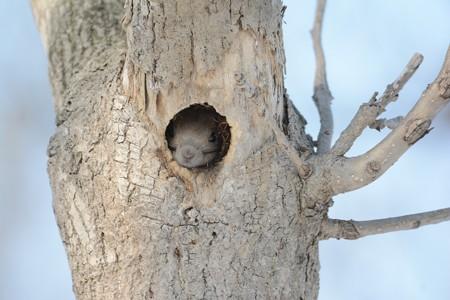 巣材を入れて寝ぐらするエゾリス