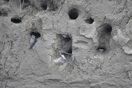 ショウドウツバメ 巣穴