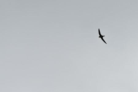 ハリオアマツバメ