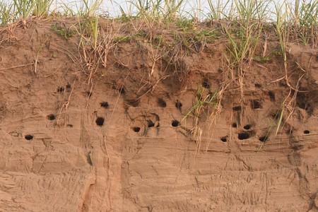 ショウドウツバメ 新しい巣