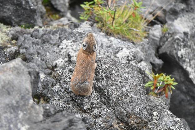 Photos: ナキウサギ 鳴く