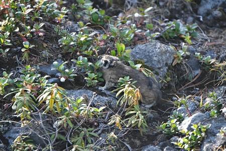 ナキウサギ シラタマノキを食べる