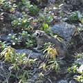 Photos: ナキウサギ シラタマノキを食べる