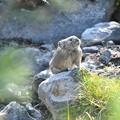 Photos: 縄張りを見ている?ナキウサギ
