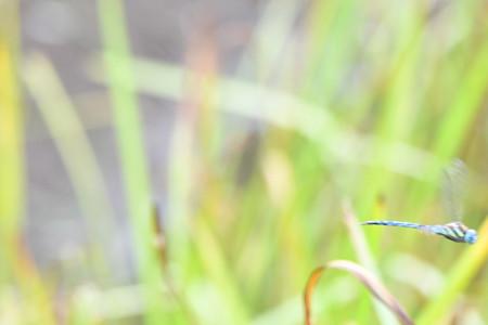 マダラヤンマ飛翔
