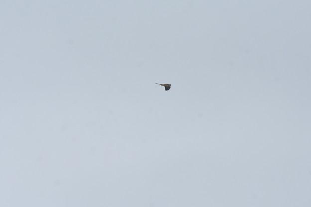 チョウゲンボウ飛翔3