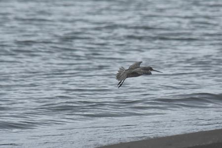 オオソリハシシギ 飛翔4