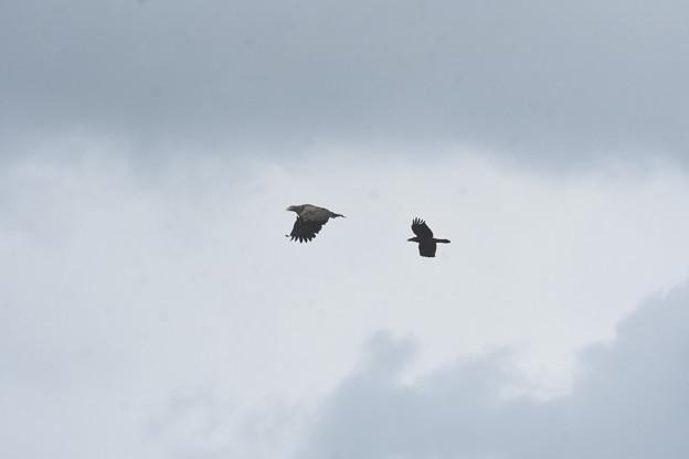 ハシブトガラス に追いかけられるオジロワシ成鳥