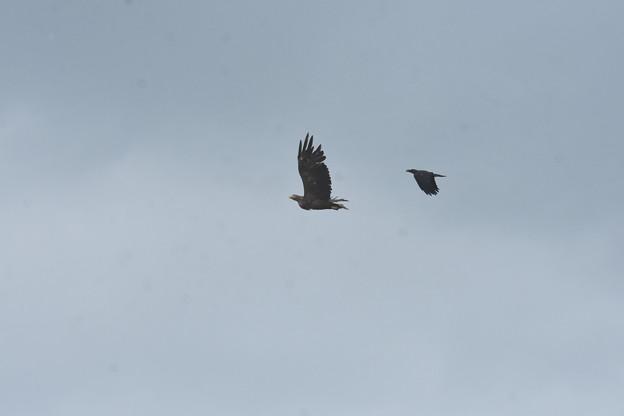 ハシブトガラス に追いかけられるオジロワシ成鳥2