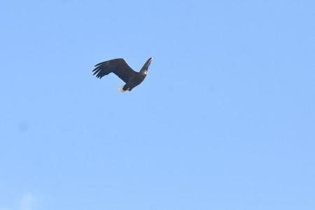 こっちを見ているオジロワシ 成鳥  1