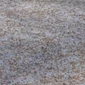 一面落ちた白樺の種