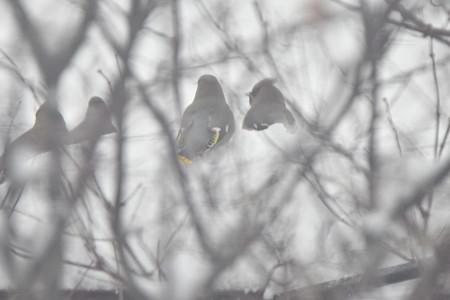 雪を食べるレンジャク達