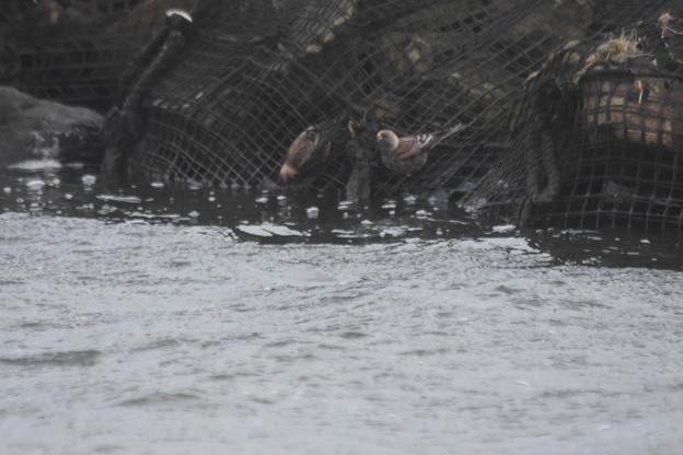 川の水を飲むハギマシコ2羽
