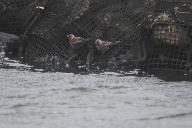 川へやってきたハギマシコ2羽