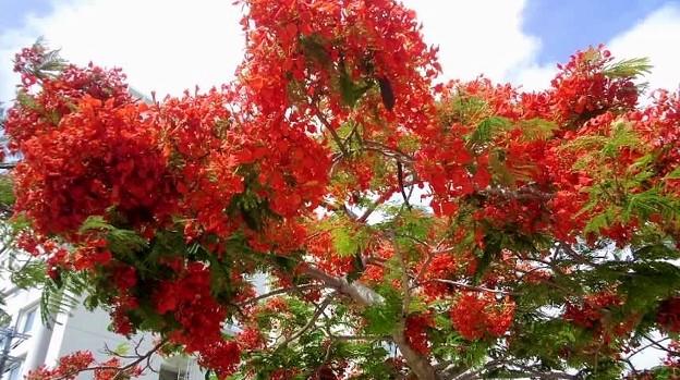 写真: ホウオウボク 花が何しろ赤い