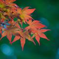 写真: 春紅葉 (2)