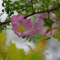 山椒薔薇(2)