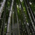 写真: 雨の竹林