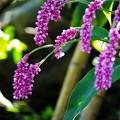 Photos: 枝垂れて咲く