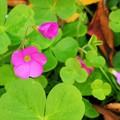 三つ葉に咲く花