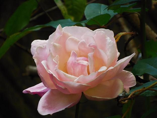 バラに似たお花