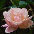 Photos: バラに似たお花
