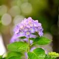 写真: アジサイ(紫陽花)