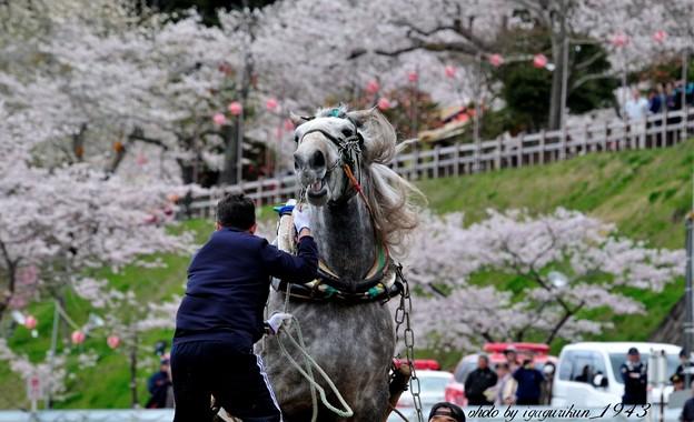Photos: 東北輓馬(ばんば)競技大会