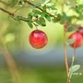 ツルコケモモ(蔓苔桃)の果実