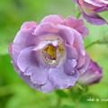写真: バラ(薔薇)