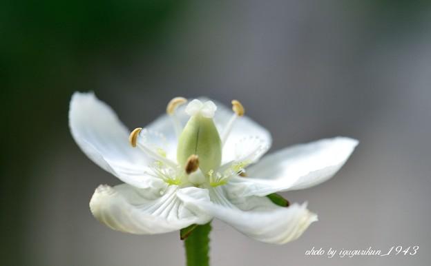 ウメバチソウ(梅鉢草)