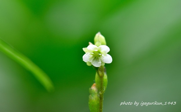 モウセンゴケ(毛氈苔)の花