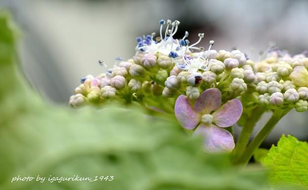 Photos: アジサイ (2度目の開花)