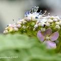 アジサイ (2度目の開花)