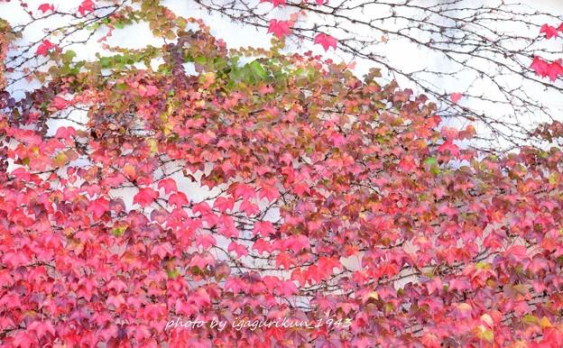 ツタ(蔦) 紅葉