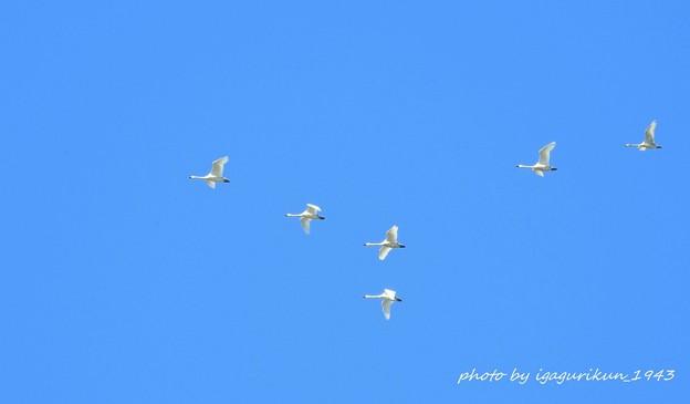 白鳥の飛翔
