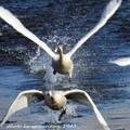 Photos: 白鳥の飛び立ち