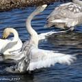 白鳥 水遊び